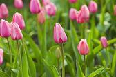 Roze mooie tulpen — Stockfoto