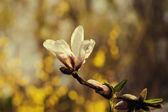 Květy magnólie — Stock fotografie