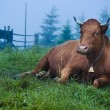 Dairy cow lying at meadow — Stock Photo #67044999