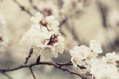 Apricot tree flower — Stock Photo
