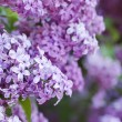 Spring lilac flowers — Stock Photo #70113179