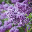 Spring lilac flowers — Stock Photo #70113959
