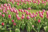 Pink beautiful tulips — Stock Photo