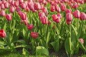 Rosa belle tulipani — Foto Stock