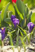 Flor de açafrão — Fotografia Stock