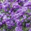 Spring lilac flowers — Stock Photo #72747891