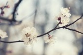 Apricot tree flower — Stock Photo