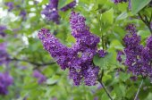 春天淡紫色的花朵 — 图库照片
