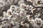 Flor de árvore de alperce — Fotografia Stock