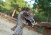 Portrait  emu — Stock Photo