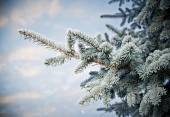 Winter frost on spruce tree  close-up — Stock Photo