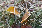 autumn leaves with dusting of frost. — Stock Photo