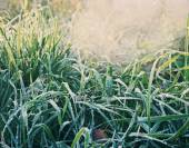 Green grass with hoarfrost — Stock Photo