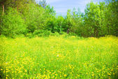 Meadow with yellow  field colour — Stock Photo