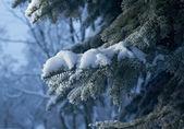 Winter frost op vuren boom — Stockfoto