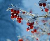 Red berries of viburnum with hoarfrost  — Stock Photo