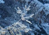 Winter frost on spruce tree   — Stock Photo