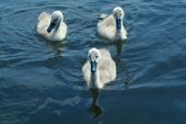 White Swan Cygnets — Stock Photo