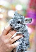 Portrait of a little gray chinchilla — Stock Photo