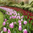 Waves of red and pink tulips Keukenhof gardens natural park — Stock Photo #63585623
