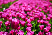 One violet tulip is higher among lower ones — 图库照片