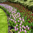 Keukenhof gardens natural park waves of red and pink tulips — Stock Photo #66056401