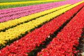 Field full of red and yellow tulips in bloom  — Stock Photo