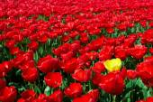 One yellow tulip among red ones — Fotografia Stock