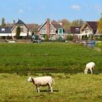 Sheep Grazing on Green Meadow near a Small Dutch Town — Stock Photo #66878033