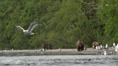 Grizzly bear and salmon. — Stock Video