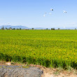 Rice fields in  Ebro Delta — Stock Photo #52478641