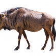 Blue wildebeest — Stock Photo #52478659