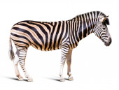 Full length of zebra   — Stock fotografie