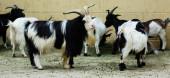 Few goats — Stock Photo