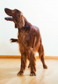 Red  Setter standing on parquet floor  — Stock fotografie