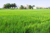 Rural landscape with rice fields — Stock Photo
