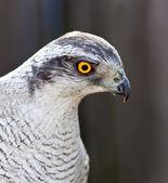Açor falcão adulto — Fotografia Stock