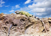 Green iguana on stone   — Stock Photo