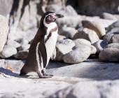 Penguin  on stones — Stock fotografie