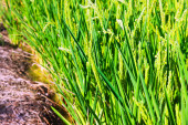 Closeup shot of Rice fields — Stock Photo