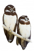 Couple of Spectacled Owls — Stock fotografie