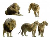 Set of  lions  — Stock Photo