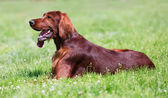 Irish Setter lying on  green grass  — Stock fotografie