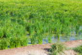 Rice fields in summer — Stock Photo