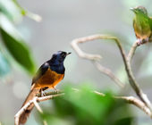 Exotic bird - white-rumped shama  — Stock fotografie