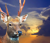 Sika deer over sunset — Stock Photo