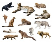 Set of Cheetah and other  wildcats — Stock Photo