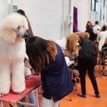 Catalonia dog exhibition — Stock Photo #52494863