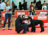 Catalonia dog exhibition — Stockfoto