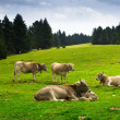 Cows in forest meadow in summer — Stock Photo #54977015